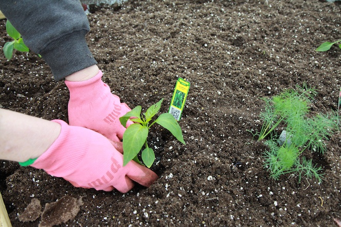PlantingJalapeno